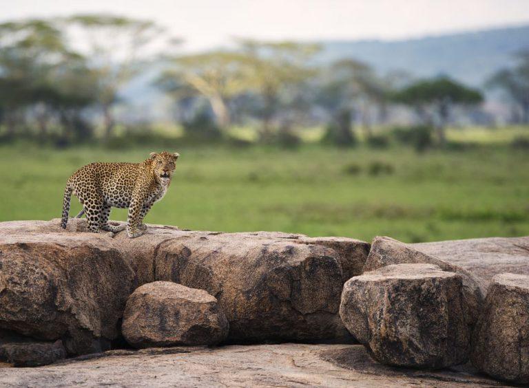 Dunia-Leopard
