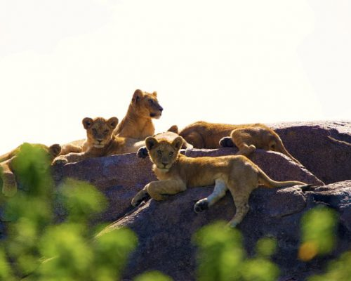 Dunia-Lion-Cubs
